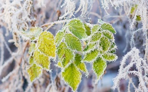 Picture leaves, snow, branch, frost, frost