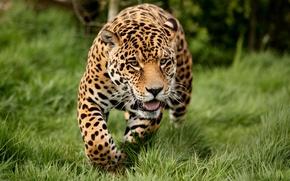 Picture cats, nature, Jaguar