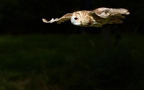Picture FLIGHT, NIGHT, BIRD, OWL, TWILIGHT