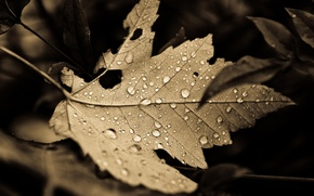 Wallpaper leaf, macro, background, nature, drops, leaves