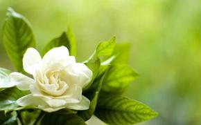 Wallpaper white, flower, leaves, petals, Gardenia