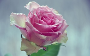 Picture flower, leaves, water, drops, macro, background, petals, pink rose