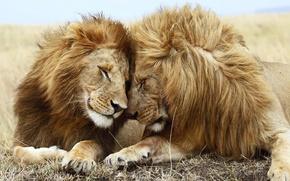 Picture friendship, cute, Lions, family, partners, companionship
