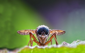 Picture ROSA, WATER, WINGS, PROBOSCIS, DROPS, INSECT, EYES, LEGS, FLY