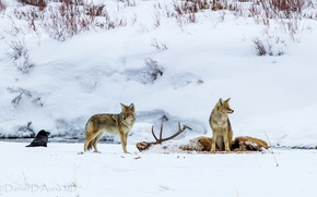 Picture FOREST, SNOW, WOLVES, BLOOD, WINTER, HORNS, The VICTIM, PACK, MEAT, MINING, The COYOTES, PREDATORS, DEER