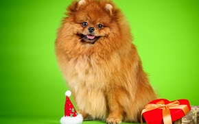 Picture background, box, dog, beads, Spitz