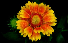 Wallpaper flower, drops, Rosa, petals