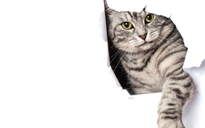 Picture cat, paper, grey, paw, white background