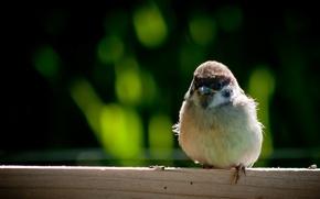 Picture bird, wings, feathers, beak, Sparrow