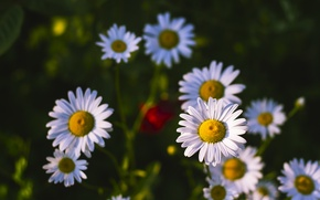 Picture summer, flowers, nature, heat, chamomile