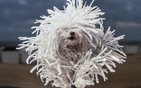 Picture dog, running, dreadlocks, The Havanese, shaggy