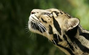 Wallpaper leopard, Animals, head, Smoky