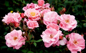 Picture roses, Pink, colorful, pink, buds, beautiful, Roses, color