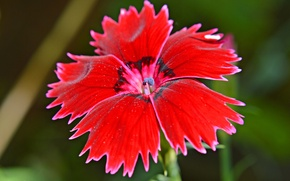 Picture flower, nature, plant, petals, Turkish carnation