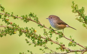 Picture branches, tree, bird, Brown Thornbill