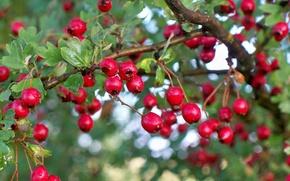 Picture drops, macro, droplets, berries, tree, Bush, berries, bokeh, hawthorn