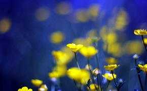 Picture flowers, blue, background, yellow, yellow, blue, flowers, background, Buttercups, buttercups