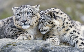 Picture feelings, predators, IRBIS, snow leopard