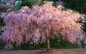 Picture tree, Sakura, shop, flowering