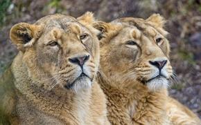 Picture cats, pair, lioness, ©Tambako The Jaguar