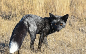 Picture look, background, Fox, Silver Fox
