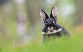 Wallpaper bokeh, rabbit, muzzle, look
