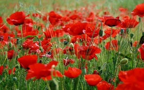Picture grass, flowers, red poppies