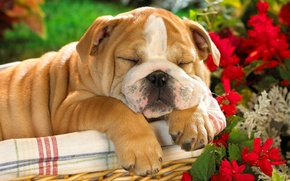 Picture basket, dog, puppy, English bulldog