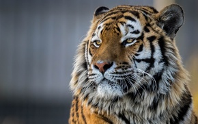 Picture face, tiger, portrait, handsome, The Amur tiger