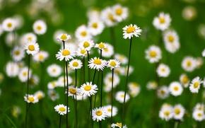 Picture field, background, chamomile, white