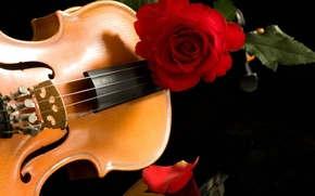 Picture music, violin, rose, red