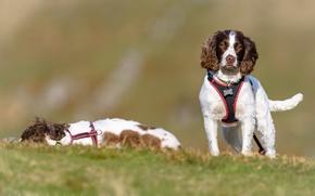Picture dogs, Spaniel, English Springer Spaniel