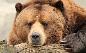 Picture face, nature, power, stay, beauty, bear, claws, log, bear, brown, bokeh, brown, wallpaper., thinks
