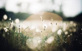 Picture macro, light, glare, dandelions