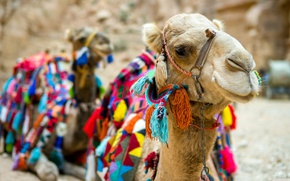 Picture desert, camels, bright capes