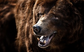 Wallpaper macro, nature, Grizzly Bear