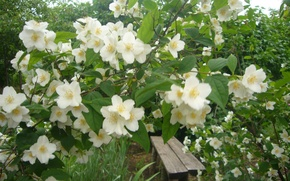 Picture flowers, Nature, Jasmine