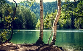 Picture forest, trees, lake, trunk, birch, Sunny