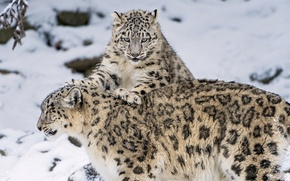 Picture winter, snow, kitty, IRBIS, snow leopard, big cat, family