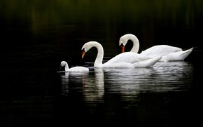 Picture water, birds, reflection, three, swans