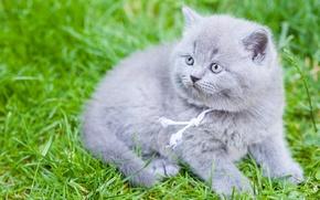 Wallpaper British, grass, British Shorthair, baby, kitty