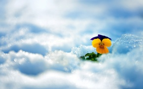 Picture winter, flower, snow, flowers, widescreen, wallpaper, flower, widescreen, winter, background, snow, full screen, HD wallpapers, …