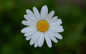 Picture macro, Daisy, Issyk-Kul