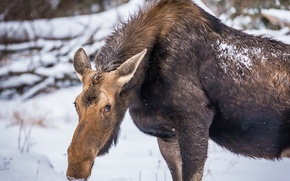 Picture winter, nature, moose