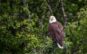 Picture predator, on the tree, bald eagle