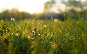 Picture greens, grass, macro, Rosa, dawn, morning, bokeh, Boke