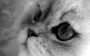 Wallpaper cat, macro, cat, black and white, grey background