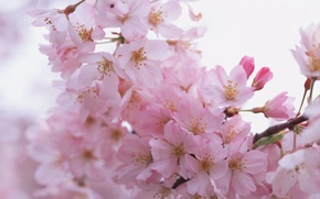 Picture flowers, branches, spring, petals, pink