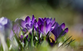 Picture grass, flowers, nature, spring, crocuses