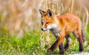 Picture small, Fox, walk, steps